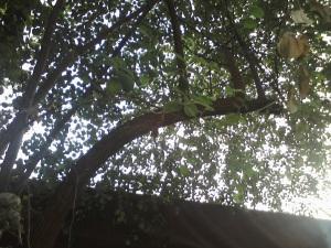 Pohon Bidara di Komplek SD Mutiara Islam Cileungsi Bogor