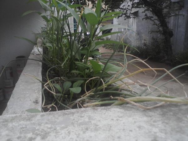 menanam kangkung dihalaman rumah